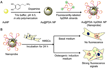 Fig. 1. (A) Preparation of polydopamine-coated gold nanoparticles (Au@PDA NPs) and hairpin-DNA-based (hpDNA) nanoprobes; (B) Intracellular detection of miRNAs in living human mesenchymal stem cells (hMSCs)